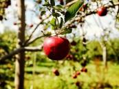 Hayles Fruit Farm Apple Day